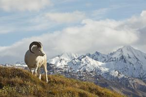 A Dall's Sheep in Denali National Park by Aaron Huey