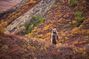 A Grizzly Bear Among Multicolor Plants in Denali's Polychrome Pass by Aaron Huey