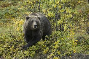 A Grizzly Bear in Denali National Park and Preserve by Aaron Huey