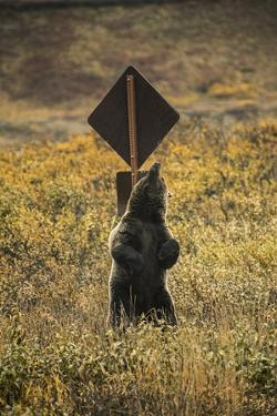 A Grizzly Bear Scratches its Back on a Sign Post in Denali National Park and Preserve by Aaron Huey