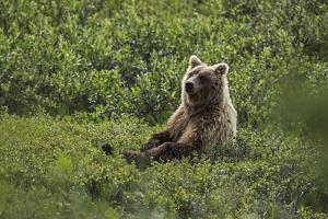 A Grizzly Bear Sitting in Denali National Park and Preserve by Aaron Huey