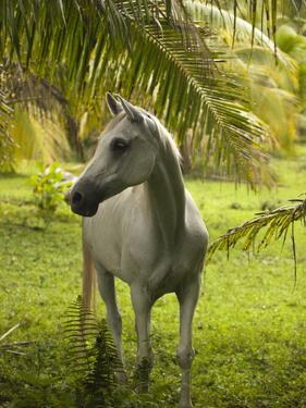 A White Horse in a Lush Green Landscape on Moorea Island by Aaron Huey
