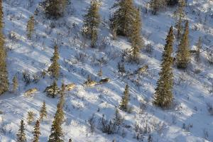 The Nenana River Wolf Pack Spends Time in Denali National Park and Just East of the Park by Aaron Huey