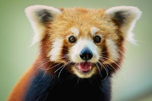 Happy Red Panda by aaronchengtp photography