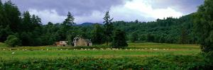 Abandoned Farmhouse with Sheep Glen Strathfarrar Highlands Scotland