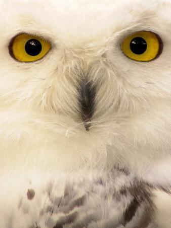 Close-Up of a Snowy Owl by Abdul Kadir Audah