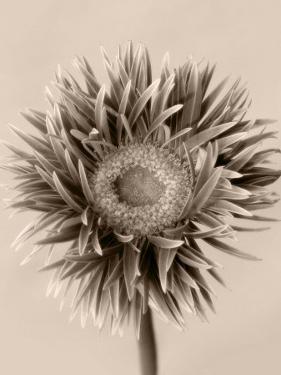 Still Life Photograph, a Gerbera Close-Up with Sepia Toning by Abdul Kadir Audah