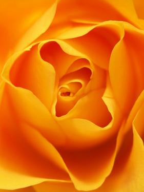 Still Life Photograph, Close-Up of Orange Rose by Abdul Kadir Audah