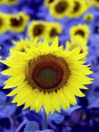 Sunflower by Abdul Kadir Audah