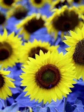 Sunflowers Closeup by Abdul Kadir Audah