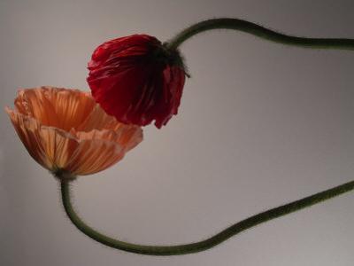 Two Poppy Flowers by Abdul Kadir Audah