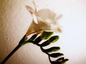 White Freesia by Abdul Kadir Audah
