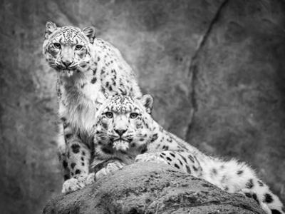 Frontal Portrait of Snow Leopard Pair