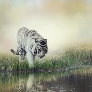 White Tiger near A Pond by abracadabra99