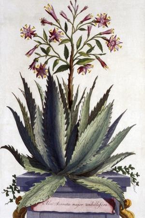 Aloe Serrata Major Umbellifera, from 'Phytographia Curiosa', Published 1702 by Abraham Munting