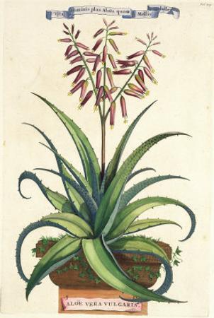 Aloe Vera Vulgaris, from Phytographia Curiosa, Published 1702 by Abraham Munting