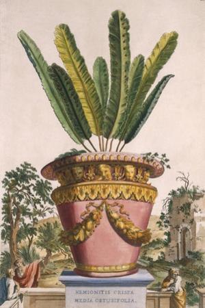 Hemionitis Crispa Media Obtusifolia, from 'Phytographia Curiosa', Published 1702 by Abraham Munting