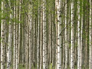 Abundant and Dense Forest of Birch Trees