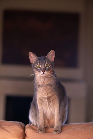 https://imgc.allpostersimages.com/img/posters/abyssinian-blue-cat-sitting-on-sofa_u-L-PZR3P90.jpg?p=0