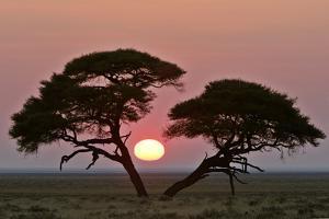 Acacia at Sunrise Magnicifent Specimen of Umbrella