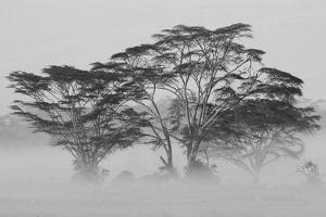Acacia Trees covered by mist, Lake Nakuru, Kenya