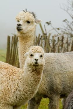 An Alpaca Mother and Baby by acceleratorhams
