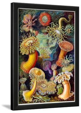 Actiniae Nature Art Print Poster by Ernst Haeckel