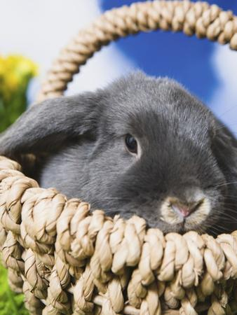 Lop-eared Easter bunny