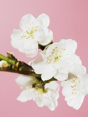 White cherry blossoms by Ada Summer