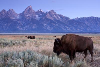 A Bison in a Meadow with the Teton Mountain Range as a Backdrop, Grand Teton National Park, Wyoming