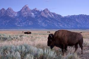 A Bison in a Meadow with the Teton Mountain Range as a Backdrop, Grand Teton National Park, Wyoming by Adam Barker
