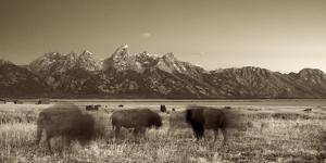 Bison in a Meadow with the Teton Mountain Range as a Backdrop, Grand Teton National Park, Wyoming by Adam Barker