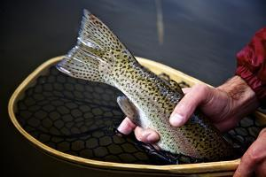 Closeup Image of Rainbow Trout in a Fly Fishing Net in Colorado by Adam Barker