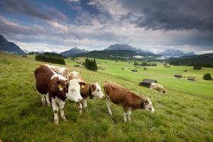 Curious Cows in the Farm Country of Bavaria by Adam Barker