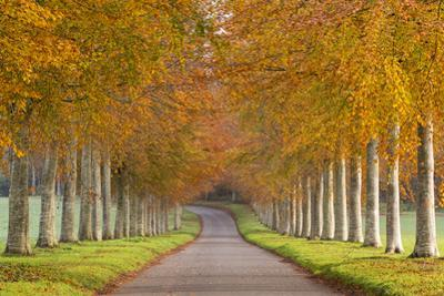 Avenue of Colourful Trees in Autumn, Dorset, England. November by Adam Burton
