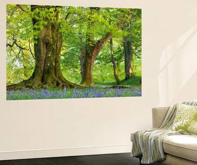 Beech and Oak Trees Above a Carpet of Bluebells in a Woodland, Blackbury Camp, Devon by Adam Burton