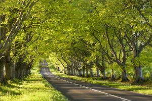 Beech Tree Avenue Early One Spring Morning, Nr Wimborne, Dorset, England. Spring by Adam Burton