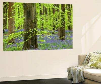 Bluebell Carpet in a Beech Woodland, West Woods, Lockeridge, Wiltshire, England. Spring by Adam Burton