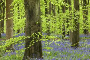 Bluebell Carpet in a Beech Woodland, West Woods, Lockeridge, Wiltshire, England. Spring by Adam Burton