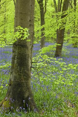 Bluebell Carpet in a Beech Woodland, West Woods, Wiltshire, England. Spring by Adam Burton