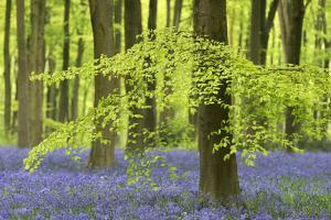 Bluebells and Beech Trees in West Woods, Wiltshire, England. Spring (May) by Adam Burton
