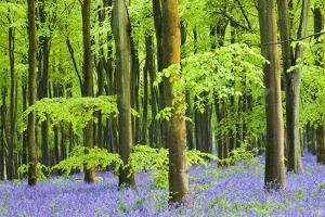 Common Bluebells (Hyacinthoides Non-Scripta) Flowering in West Woods in Springtime by Adam Burton