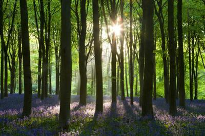 Early Morning Sunlight in West Woods Bluebell Woodland, Lockeridge, Wiltshire, England. Spring by Adam Burton