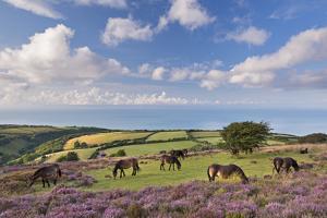 Exmoor Ponies Grazing on Heather Covered Moorland on Porlock Common, Exmoor, Somerset by Adam Burton