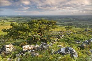 Hawthorn Trees on Dartmoor Moorland in Summer Time, Devon, England. July by Adam Burton