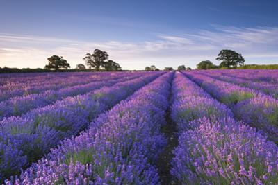 Lavender Field at Dawn, Somerset, England. Summer (July) by Adam Burton