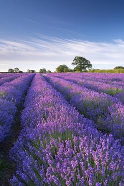 Lavender field in flower, Faulkland, Somerset, England. Summer (July) 2014. by Adam Burton