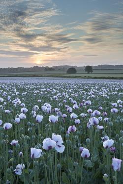 Opium Poppies Flowering in a Dorset Field, Dorset, England. Summer (July) by Adam Burton