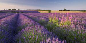 Rosebay Willowherb (Chamerion Angustifolium) Flowering in a Field of Lavender by Adam Burton