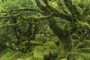 The Mysterious Wistman's Wood by Adam Burton